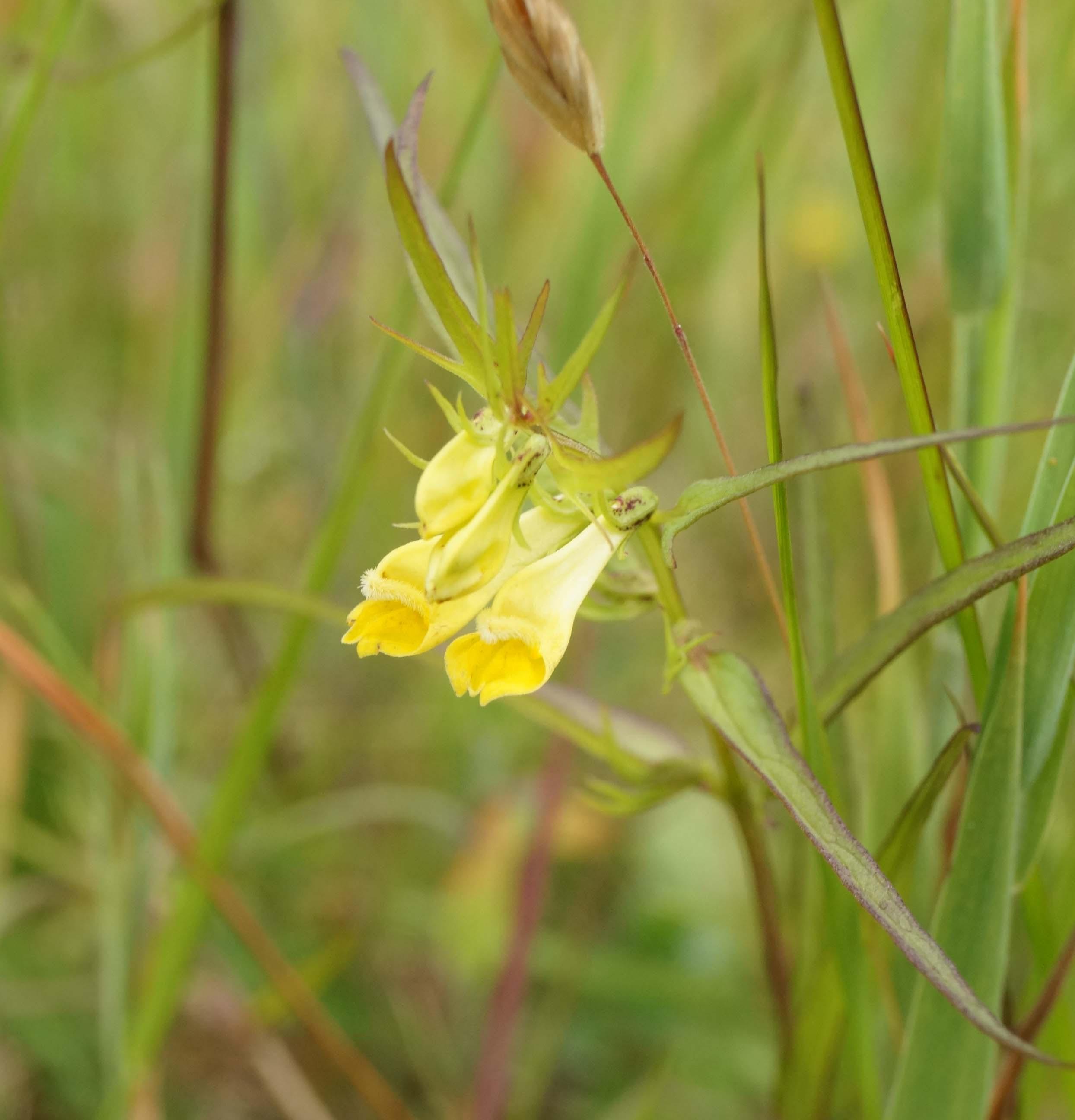 Almindelig Kohvede (Melampyrum pratense)