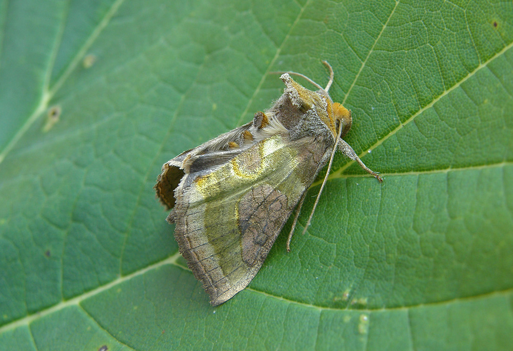 Foto/billede af Udelt Messingugle (Diachrysia stenochrysis)