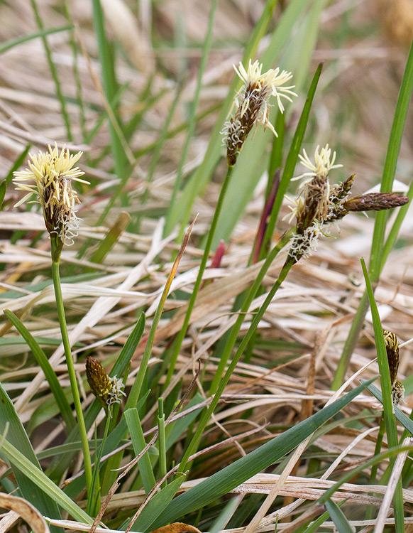 Foto/billede af Vår-Star (Carex caryophyllea)