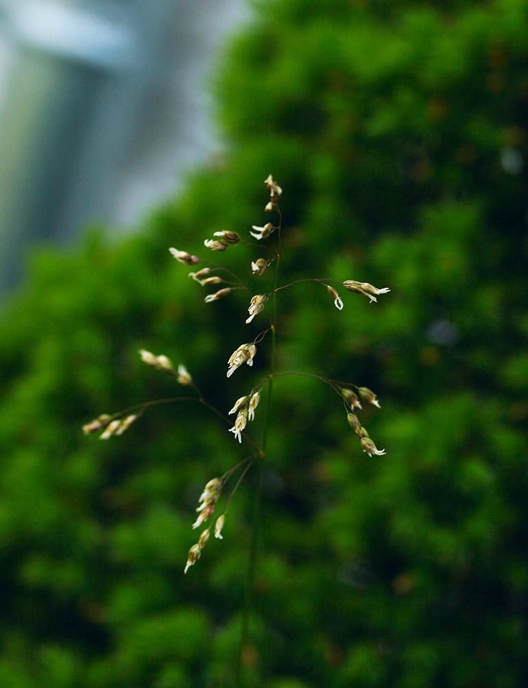 Festgræs