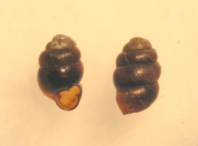 Kildevældsvindelsnegl (Vertigo geyeri)