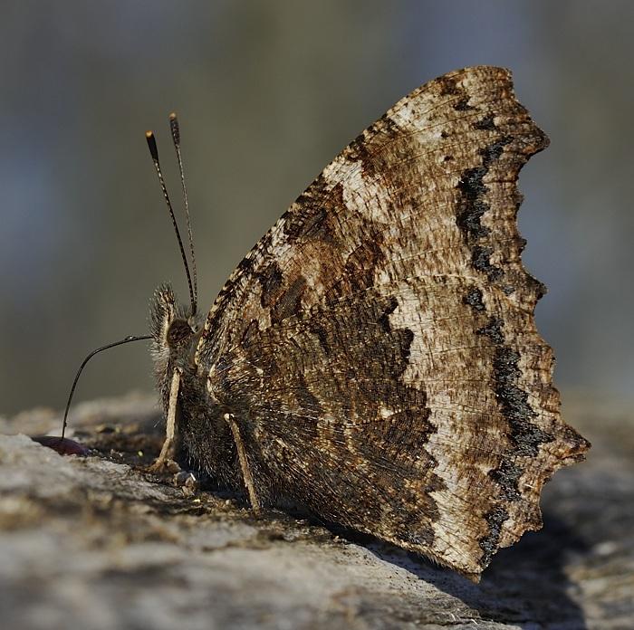 Østlig Takvinge (Nymphalis xanthomelas)