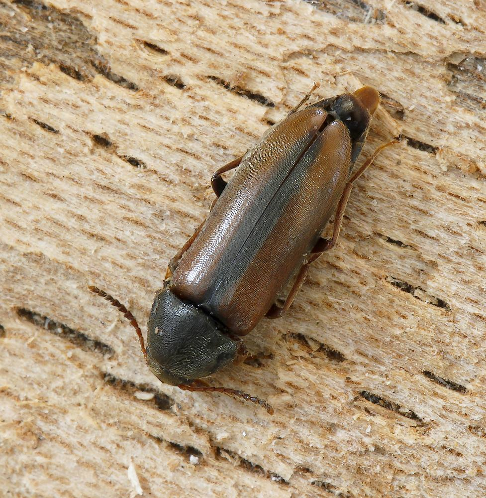 Xylita laevigata (Xylita laevigata)