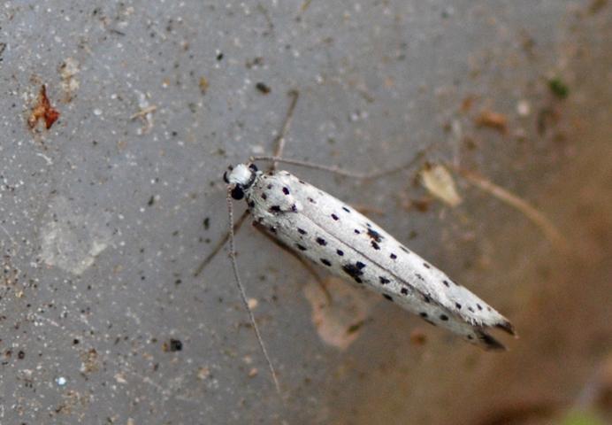Foto/billede af Sortspidset Benvedspindemøl (Yponomeuta plumbella)