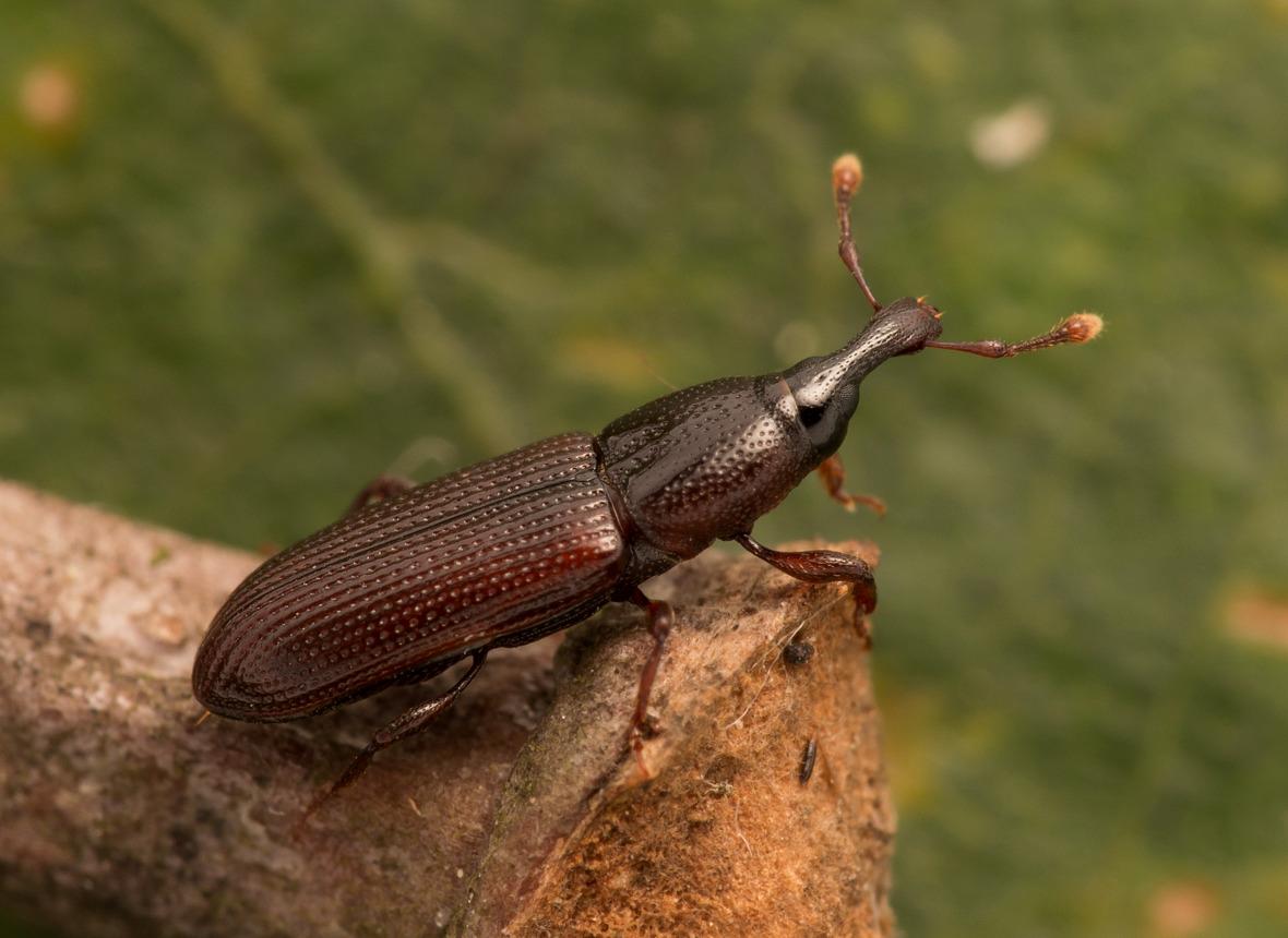 Foto/billede af Cossonus linearis (Cossonus linearis)