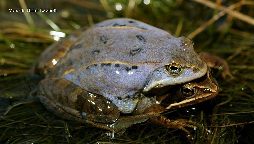 Spidssnudet Frø (Rana arvalis)