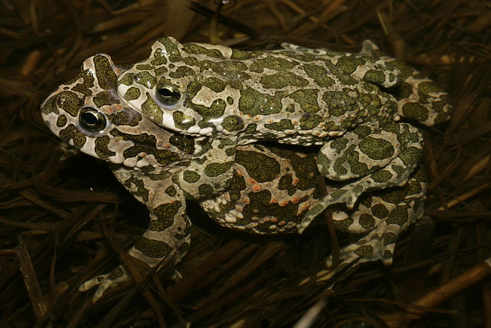 Grønbroget Tudse (Bufotes viridis)