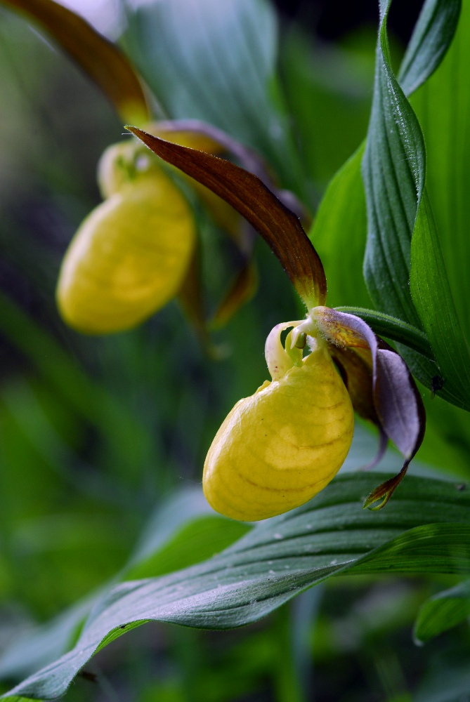 Fruesko (Cypripedium calceolus)