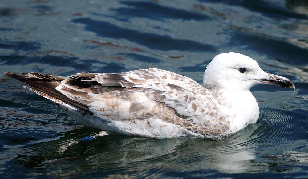 Kaspisk Måge (Larus cachinnans)