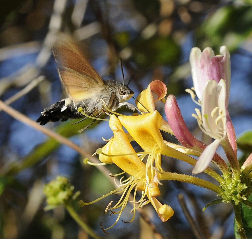 Foto/billede af Duehale (Macroglossum stellatarum)