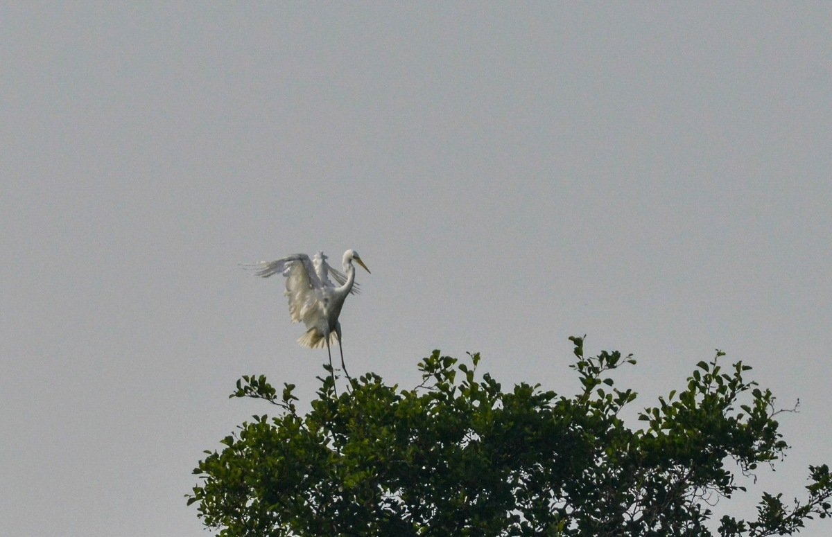 Sølvhejre (Ardea alba)