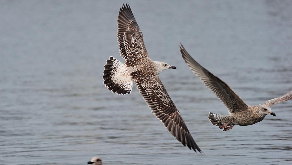 Sibirisk Måge