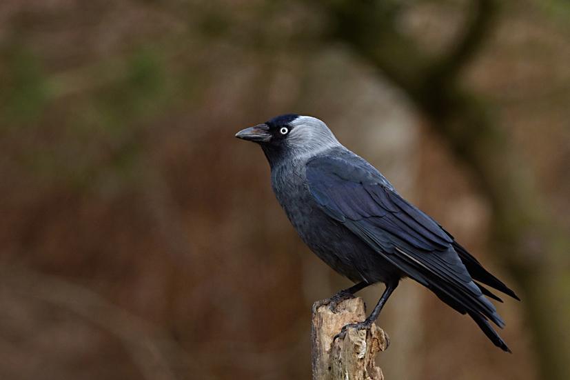 Foto/billede af Allike (Corvus monedula)