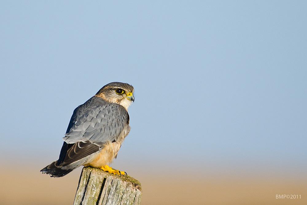 Dværgfalk (Falco columbarius)