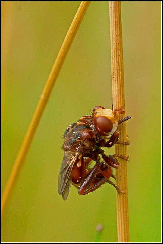 Sicus ferrugineus (Sicus ferrugineus)