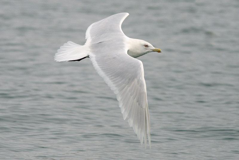 Foto/billede af Hvidvinget Måge (Larus glaucoides)