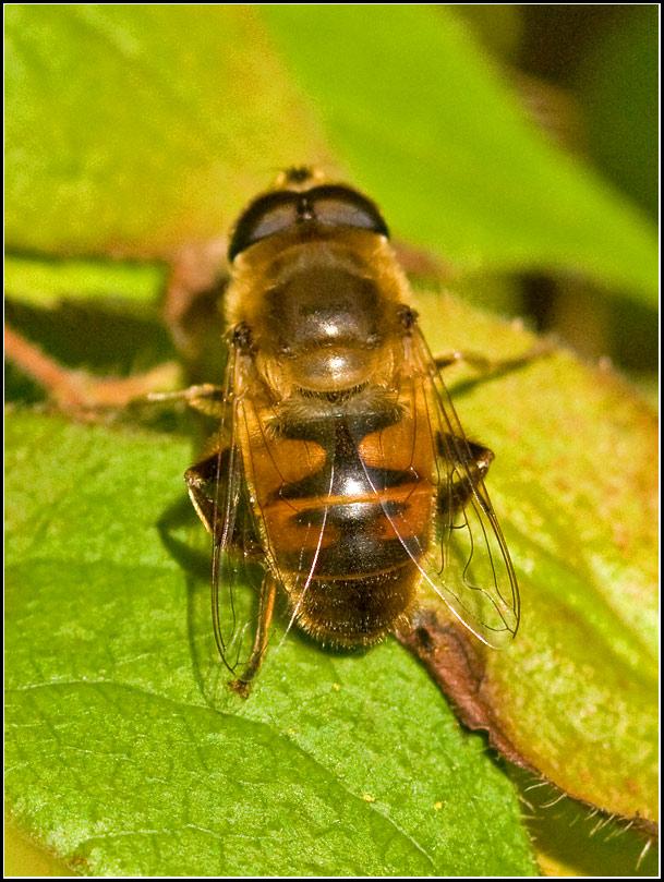 Foto/billede af Droneflue (Eristalis tenax)