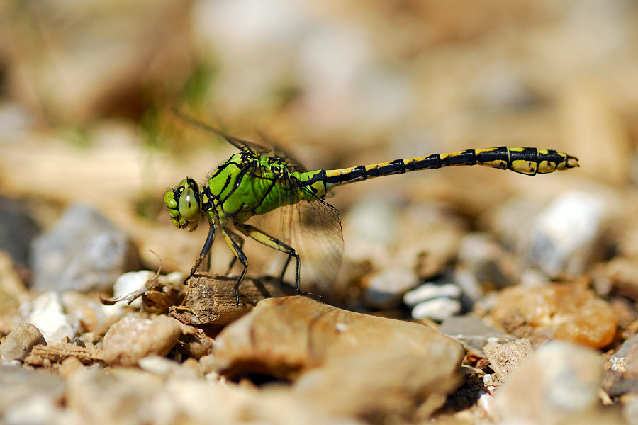 Foto/billede af Grøn kølleguldsmed (Ophiogomphus cecilia)