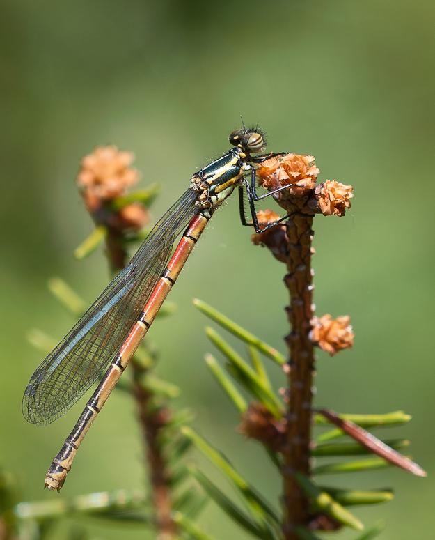 Foto/billede af Rød vandnymfe (Pyrrhosoma nymphula)
