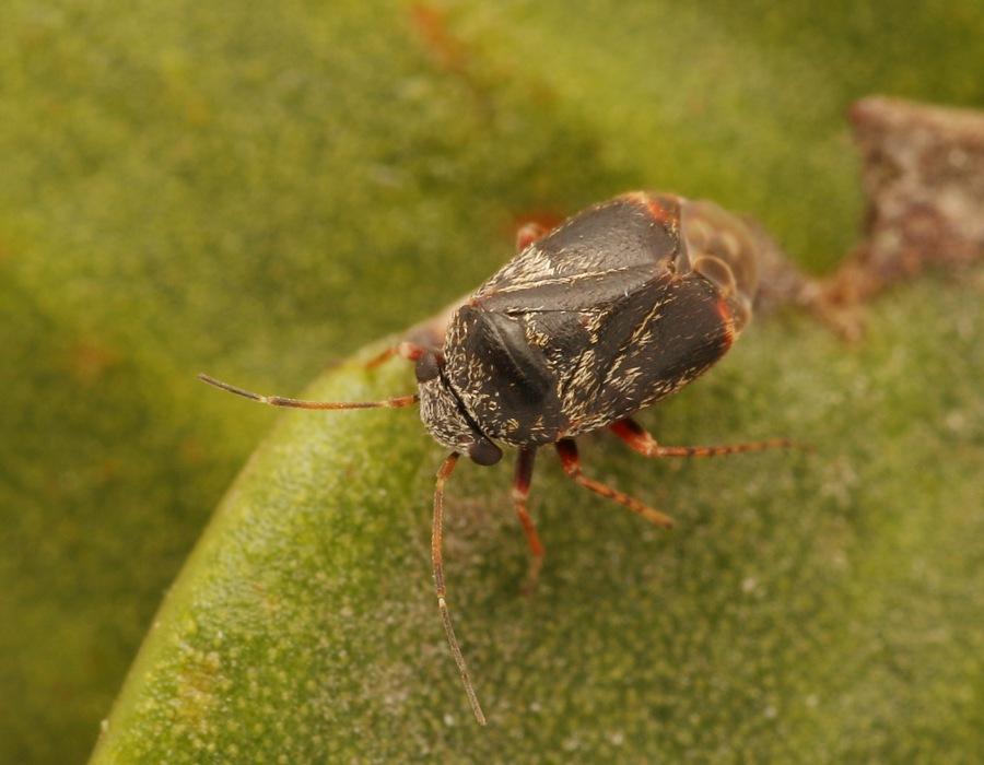 Foto/billede af Hypseloecus visci (Hypseloecus visci)