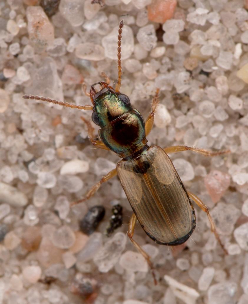 Foto/billede af Tidevandsglansløber (Cillenus lateralis)
