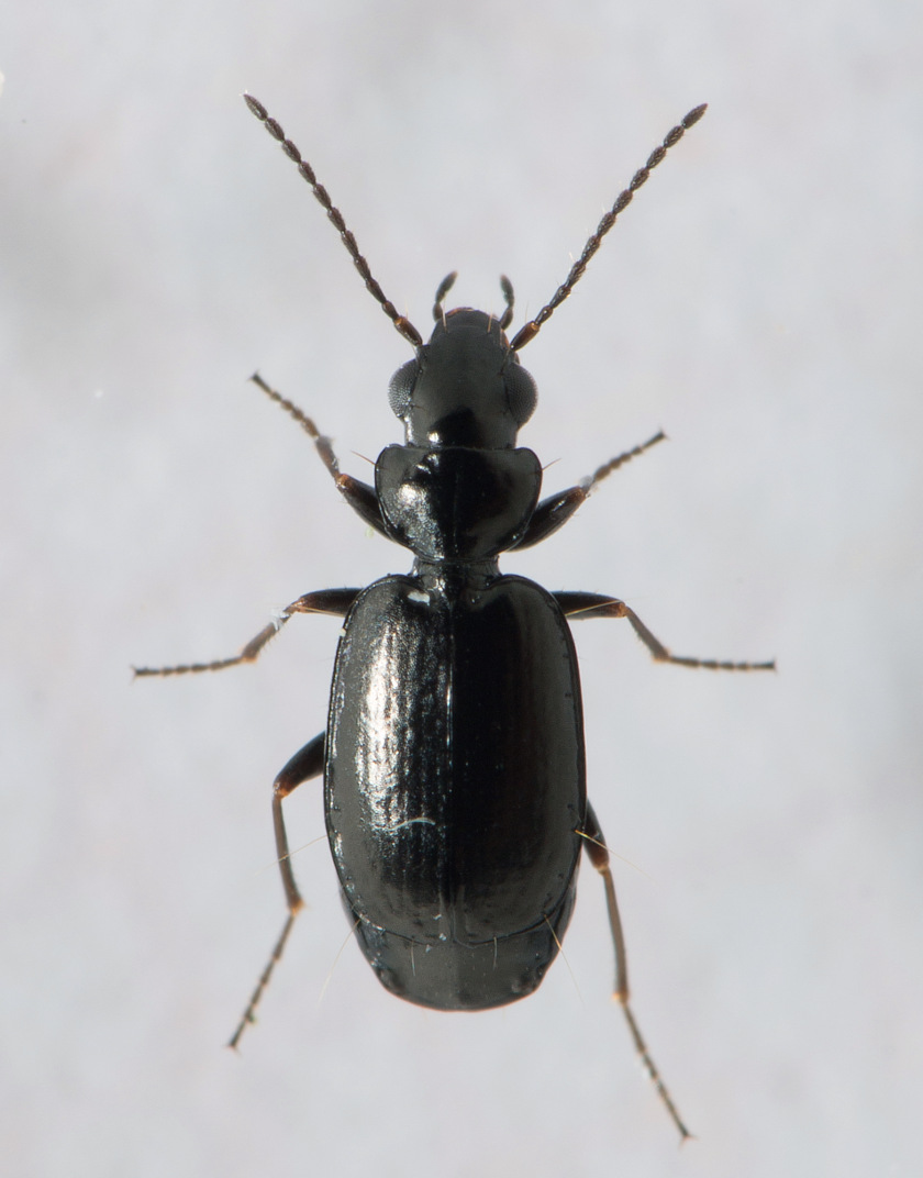 Foto/billede af Sort Stumpløber (Syntomus truncatellus)