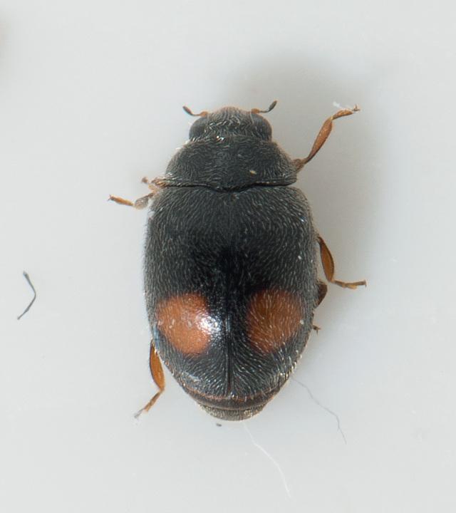 Nephus bipunctatus