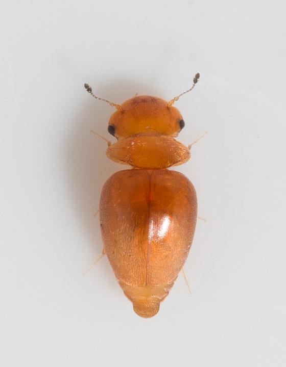 Foto/billede af Calyptomerus dubius (Calyptomerus dubius)