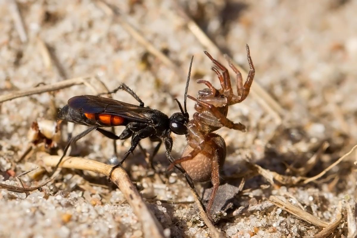 Foto/billede af Almindelig vejhveps (Anoplius viaticus)