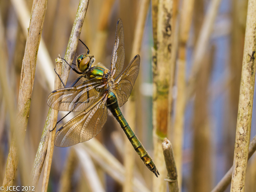 Foto/billede af Grøn smaragdlibel (Cordulia aenea)