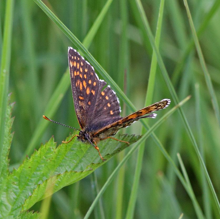 Mørk Pletvinge (Melitaea diamina)