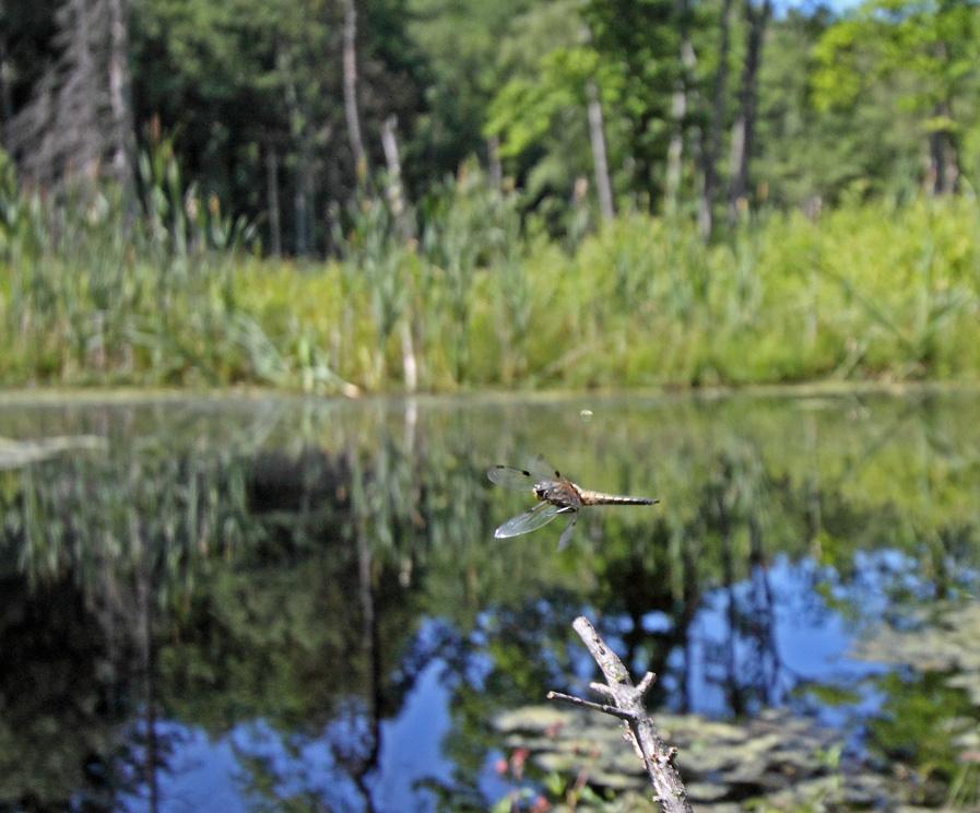 Fireplettet Libel (Libellula quadrimaculata)