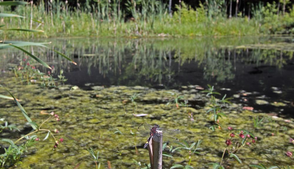 Foto/billede af Stor Kærguldsmed (Leucorrhinia pectoralis)