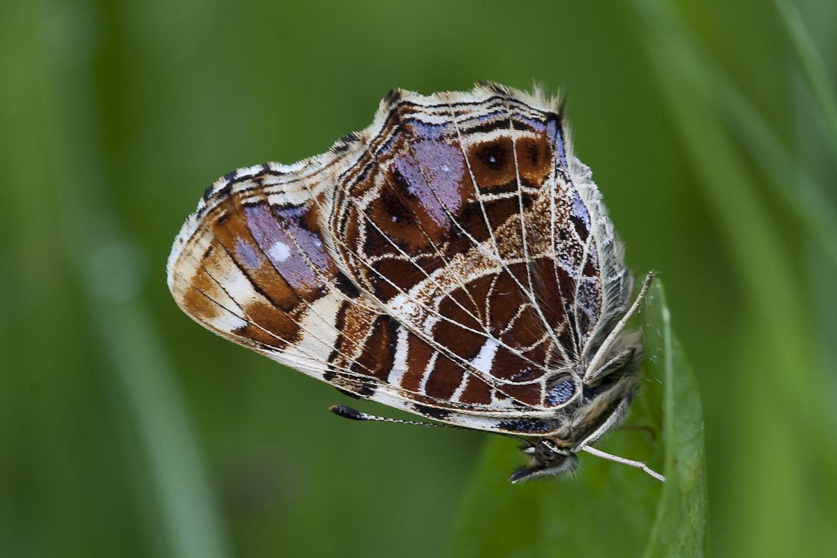 Foto/billede af Nældesommerfugl (Araschnia levana)