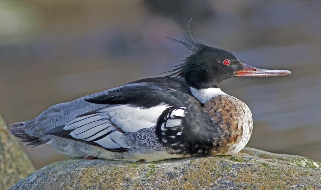 Foto/billede af Toppet skallesluger (Mergus serrator)