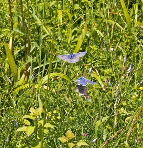 Sortplettet Blåfugl (Phengaris arion)