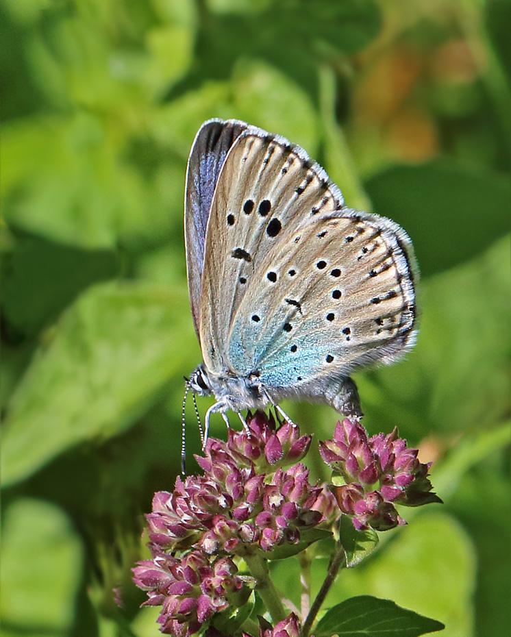 Foto/billede af Sortplettet Blåfugl (Maculinea arion)