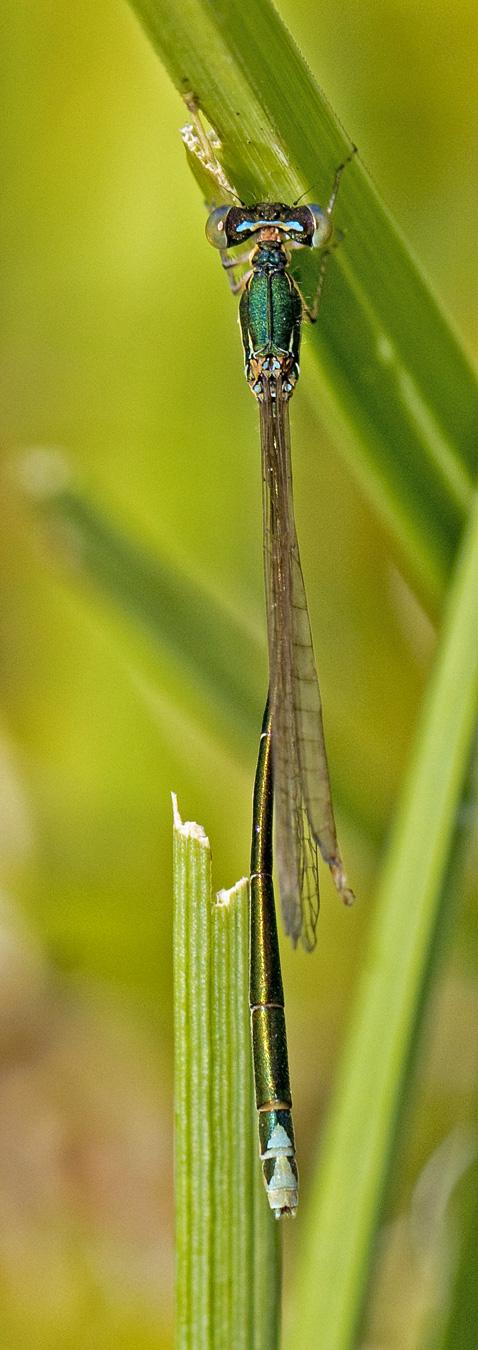 Foto/billede af Dværgvandnymfe (Nehalennia speciosa)