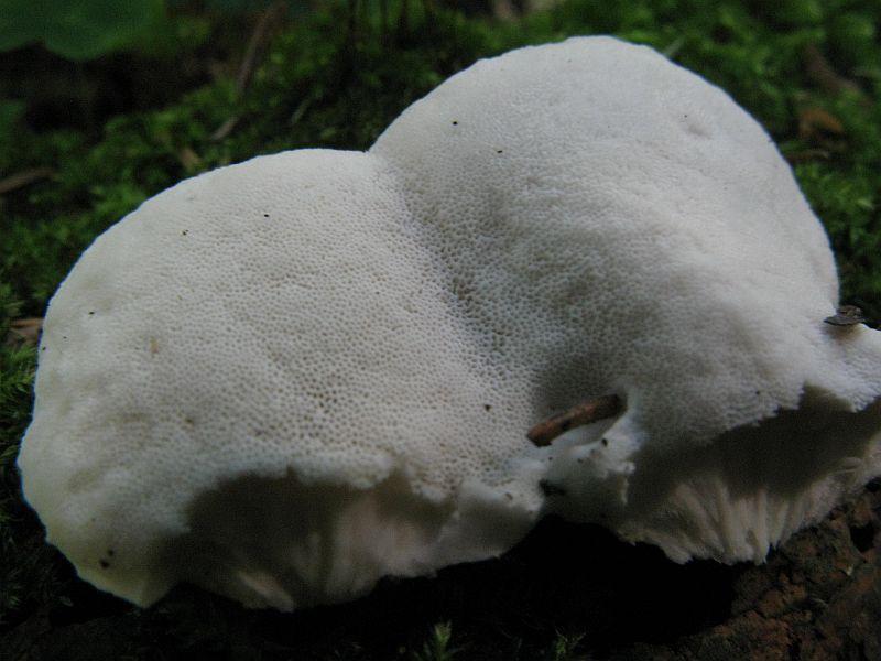 Mælkehvid Kødporesvamp (Postia lactea)