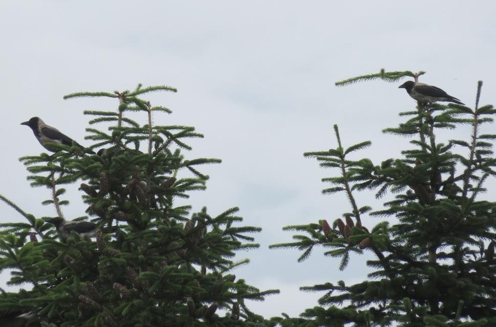 Gråkrage (Corvus cornix)