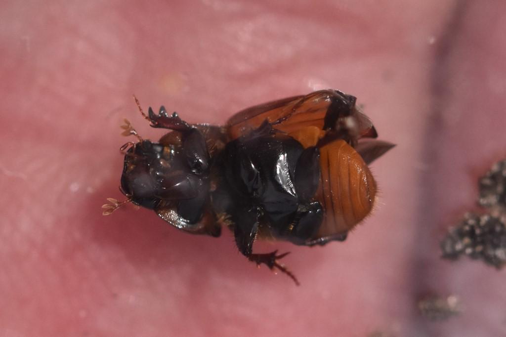 Rødbuget Møgbille (Aphodius foetens)