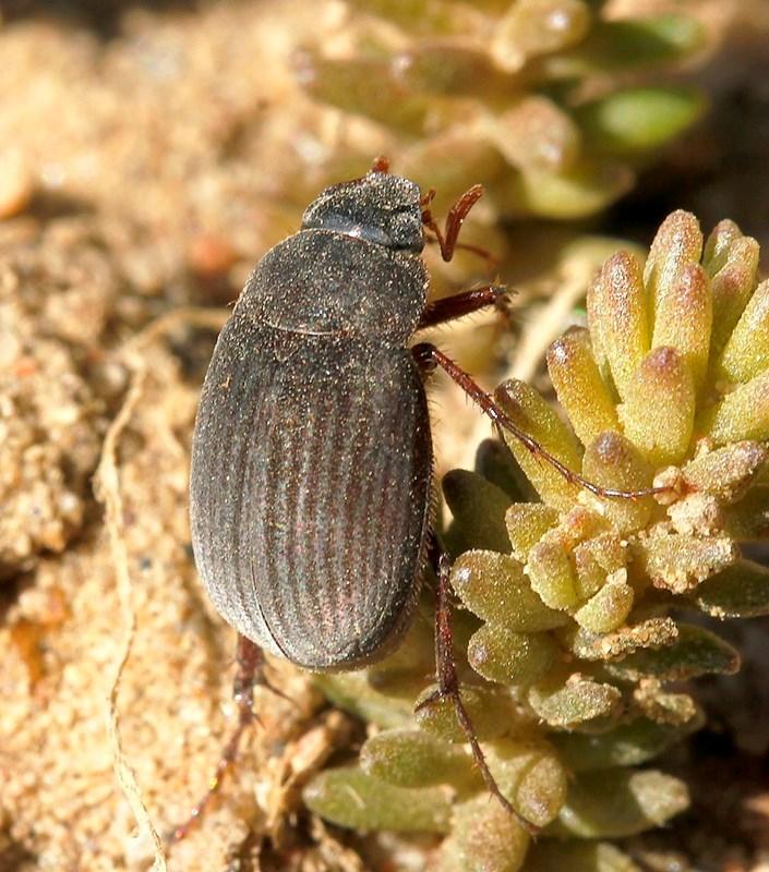 Foto/billede af Skræntoldenborre (Maladera holosericea)