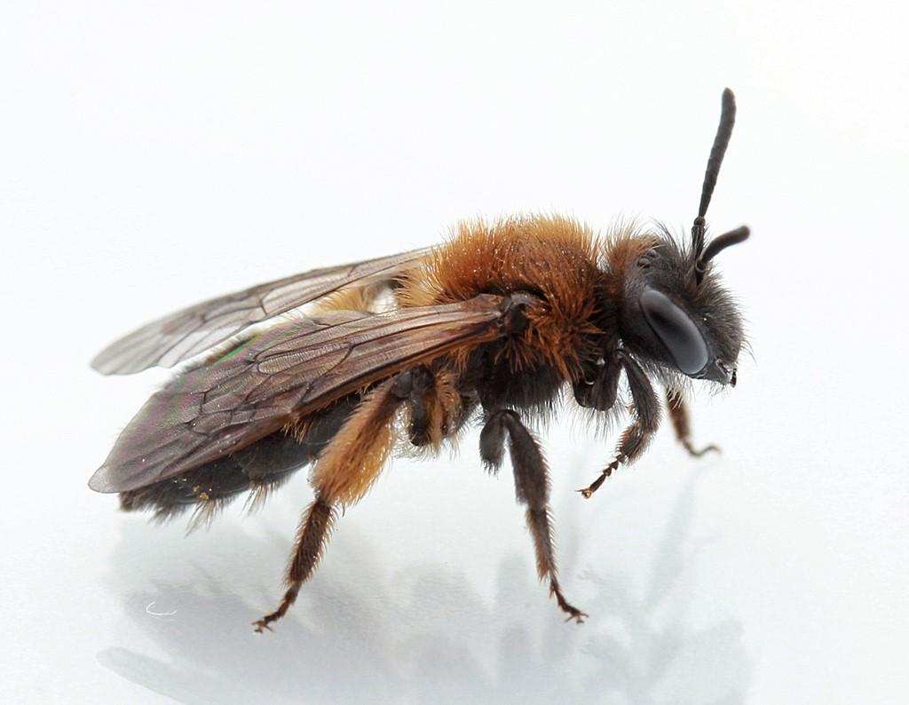 Foto/billede af Tofarvet Jordbi (Andrena bicolor)