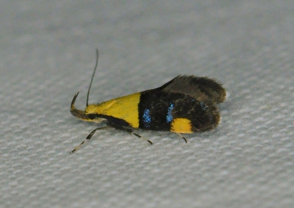 Tofarvet Prydvinge (Oecophora bractella)
