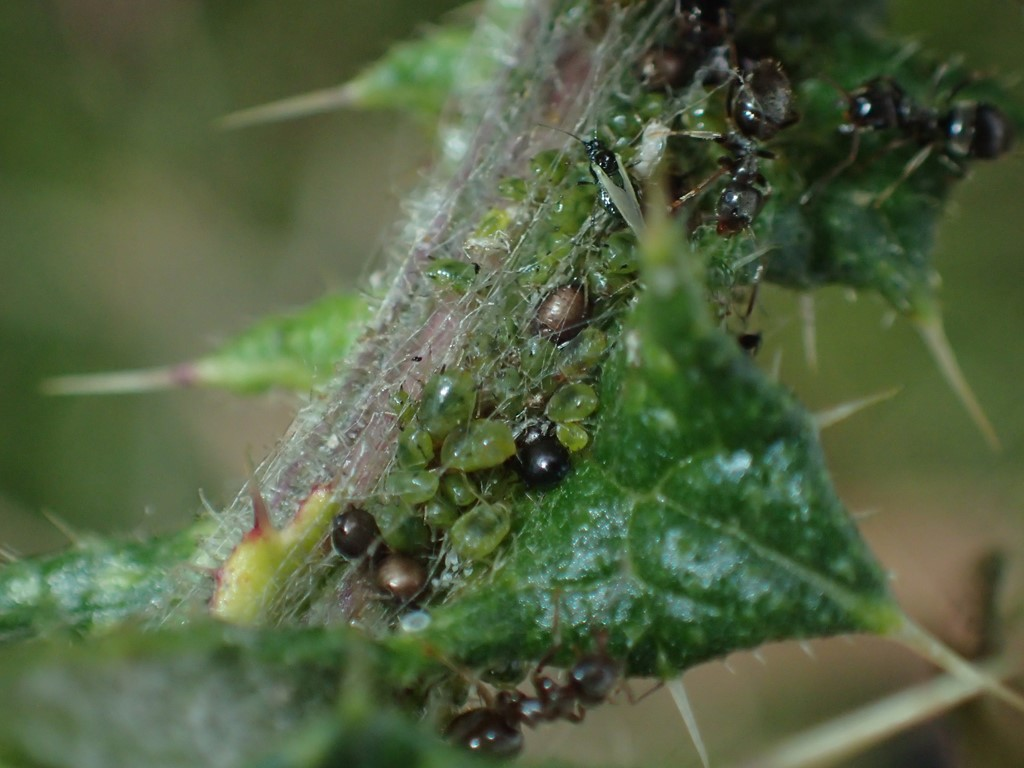 Stor Blommebladlus (Brachycaudus cardui)
