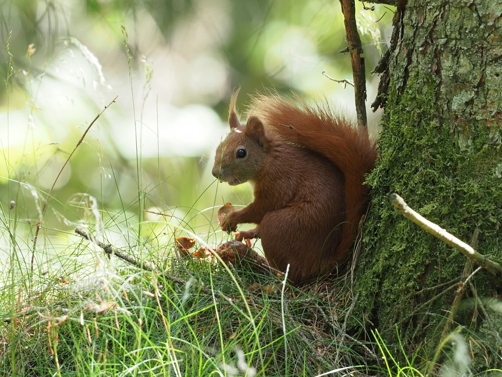 Egern (Sciurus vulgaris)