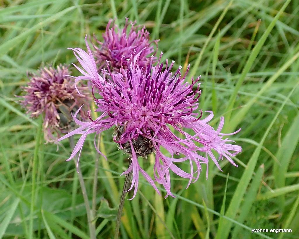 Foto/billede af Stor Knopurt (Centaurea scabiosa)