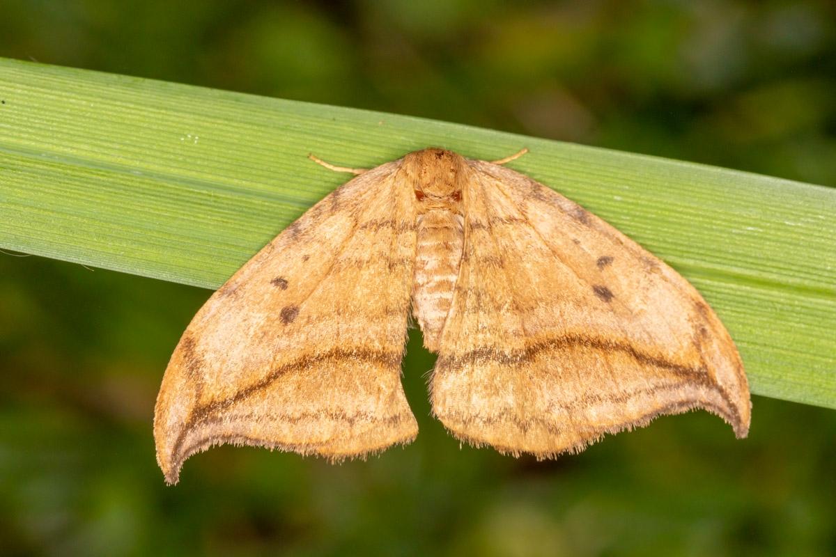 Foto/billede af Brun Seglvinge (Drepana curvatula)