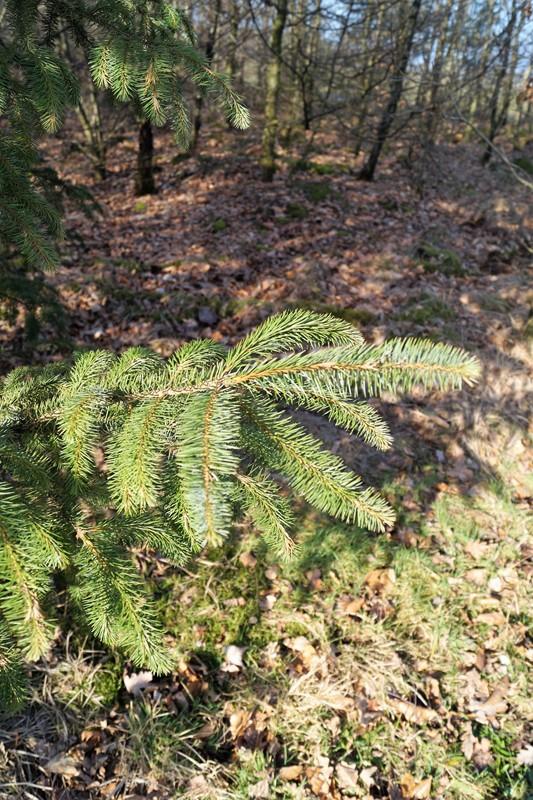 Foto/billede af Sitka-Gran (Picea sitchensis)