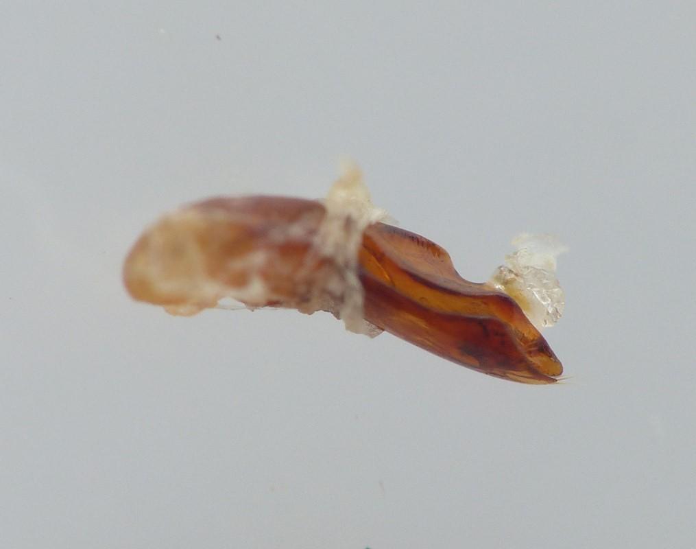 Quedius mesomelinus